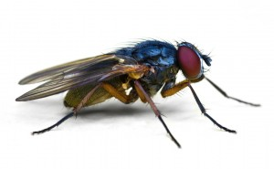 Fly__lateral_view_by_jsz